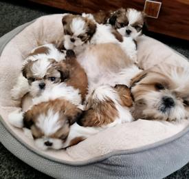 Beautifull Shih tzu puppies for sale