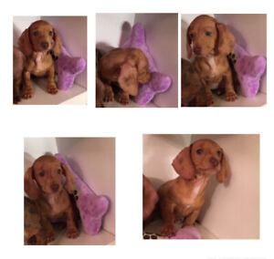 ❤️❤️MINIATURE DACHSHUND PUPPIES ( one is left).