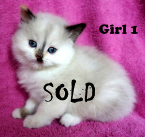 Ragdoll x Himalayan kittens. 1 m (2 SOLD) and 1 f (2 SOLD)