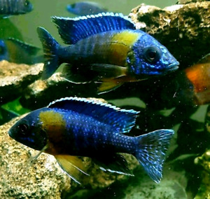 """Bicolor500 male peacocks only $20/each 2.75""""-3.75"""""""