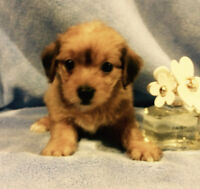 TOY  YORKSHIRE TERRIER /MALTESE PUPPIES
