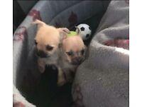 Two beautiful Jackahuahua puppies