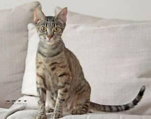2489 : Autumn - CAT for ADOPTION - Vet Work Included