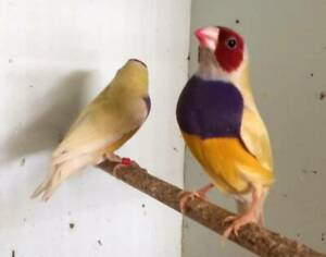 Pair of Yellow Back Gouldians
