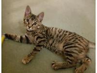 Bengal X Kitten