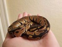 Baby royal python & setup