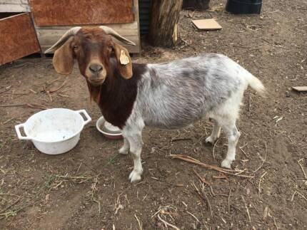 Female Boar Goat for sale