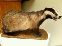 Vintage Full Mount Taxidermy Badger