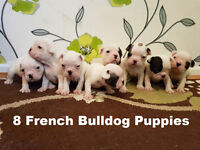 French Bulldog Puppies KC Reg/ 4 weeks old