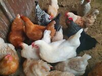 Laying Hens / Bantams /POL Chickens for sale in Eltham . SE9