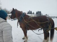 Looking for driving horse
