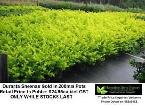 Duranta Sheenas Gold - Golden Hedge - 200mm pots