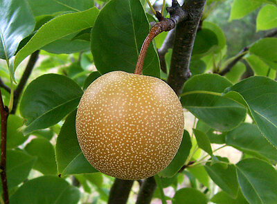 Asian Pear   Chinese Sand Pear   Pyrus Pyrifolia  Tree Seeds  Edible  Fast