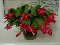 Christmas cactus pot plant