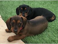 MINIATURE SMOOTH HAIRED DACHSHUND PUPPIES AVAILABLE KC REGISTERED