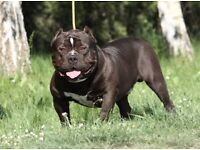 REGISTERED AMERICAN BULLY PUPPIES AVAILABLE WITH GREAT PEDIGREE