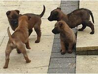 Belgian Shepherd Puppys