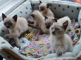 siamese kittens 9 weeks old