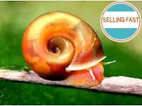Red Ramshorn Snails - 50p each