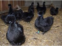 CHICKENS silkies,polish frizzles,warren and blue egg layer ameraucane hen for sale