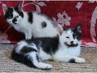 lovely black & white kittens
