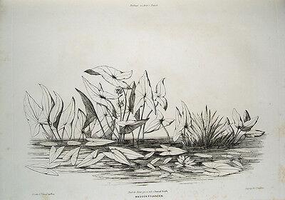 Conrad Grefe Wasserosen Seerosen Teich Wien Tulbing Tulln Pfeilkraut Wasser-Aloe