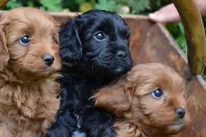 Wanted Puppies! Mount Pleasant Melville Area Preview