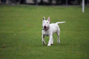 Miniature Bull Terrier - Pure Bred Yangebup Cockburn Area Preview