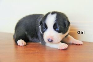 Pure Bread Border Collie Puppies Toowoomba Toowoomba City Preview