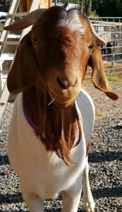 18mth old Boer billy goat for sale