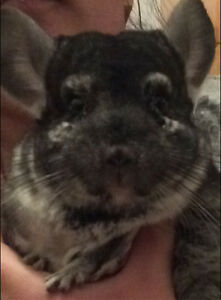 Adorable chinchilla