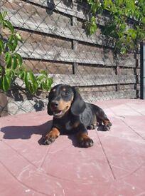 Daschund 15 weeks old puppies 3 MALE LEFT