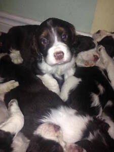 CKC Registered English Springer Spaniel 2 Yr. health Guar.