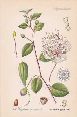 Capparis Spinosa - Alcaparra Alcaparras Thome Litografía de 1886