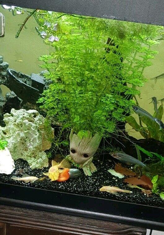 Aquarium Sumpffreund Ambulia Garnelen Nano Becken Wasser Pflanze Haarnixe Steck