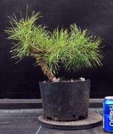 Quality Shohin Yamadori Scots Pine Bonsai Material