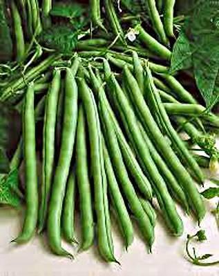 Green Bean  Blue Lake  Bush  Heirloom  Organic  100  Seeds  Classic Beans  Seed