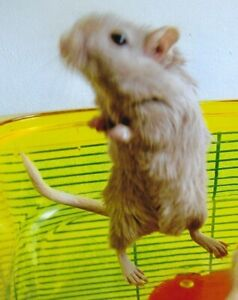 3 Male Gerbils with 2 Cages  $40 for all