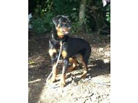 Large 10 mth old chunky Rottweiler dog
