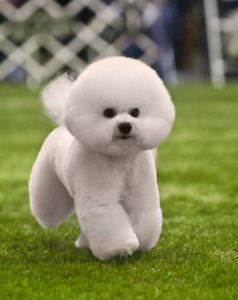 Bichon Frise puppies ready to go