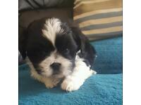 2 beautiful male shih tzu puppies