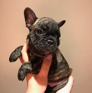 French Bulldog Duncraig Joondalup Area Preview