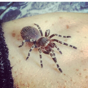 A. Geniculata with enclosure For Sale