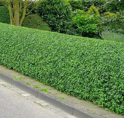70 Wild Privet Hedging Ligustrum Plants Hedge 40-60cm,Quick Growing Evergreen