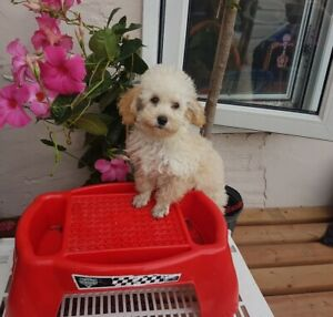 Very Small Poodle Boy Dogs Puppies For Rehoming
