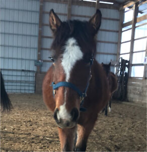 Shedrow Pony-Sized Halter