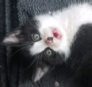 Looking for someone to take CH kitten