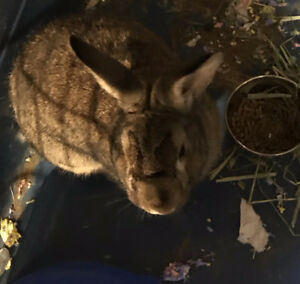 9 month old neutered brown and white bunny needs a new home