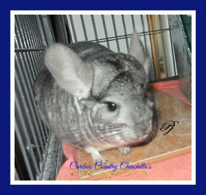 Male Standard Grey Chinchilla