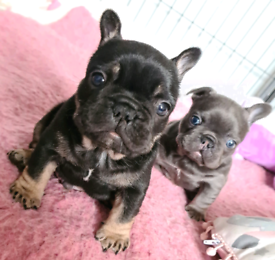 Beautiful French Bulldog boys